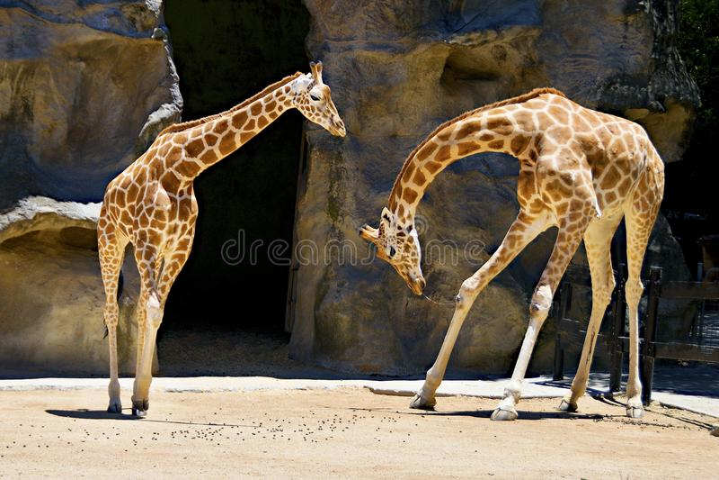 Giraffe Bowing. Two Giraffes one bowing to another at Taronga Park Zoo, Sydney , Autralia. Giraffe, giraffa, animal, animal activity, colour photo, colourful stock image
