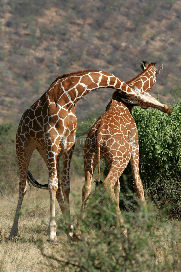 Giraffe Bull Fight stock photos