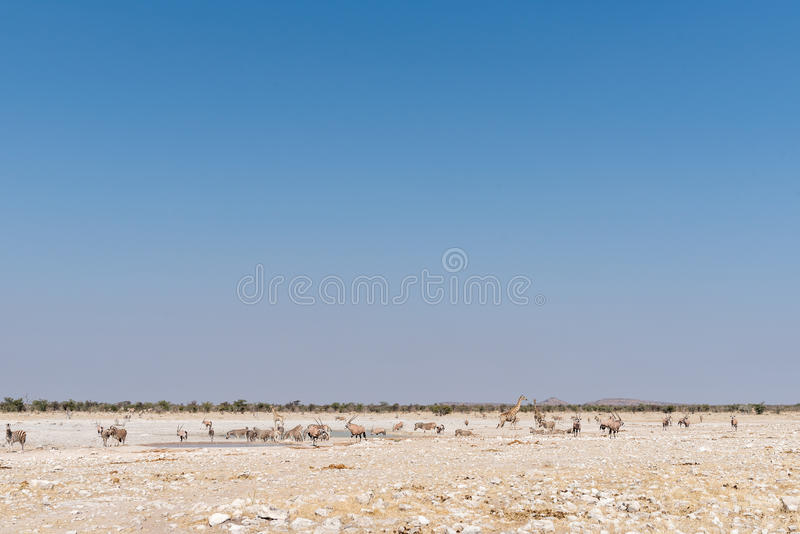 Giraffe, Burchells zebras, oryx at waterhole in North-Western Na. Giraffe, Burchells zebras and oryx at a waterhole in North-Western Namibia royalty free stock photography