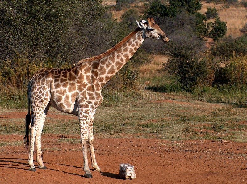 Giraffe In Bush Royalty Free Stock Photos