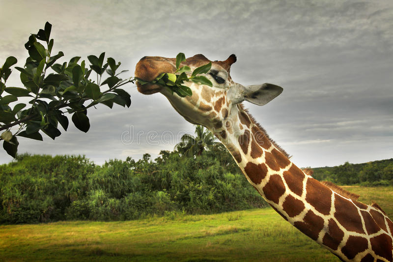 Giraffe in Calauit Island stock images
