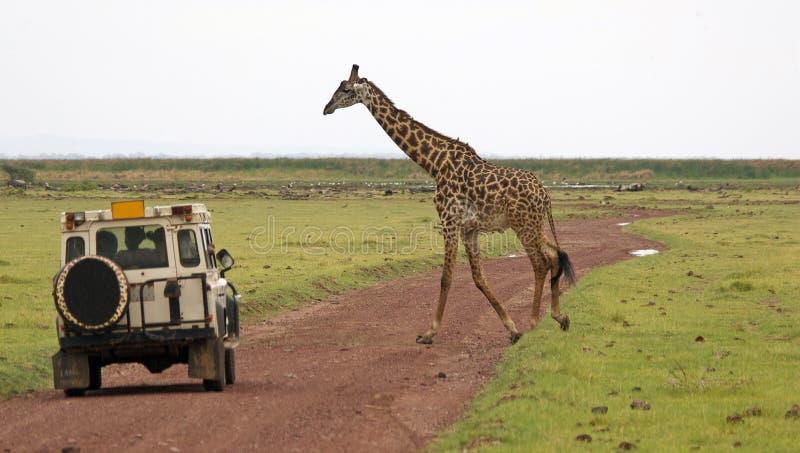 Giraffe (camelopardalis de Giraffa) images libres de droits