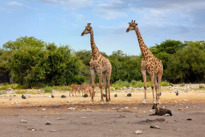 Giraffe on Etosha with stripped hyena, Namibia safari wildlife. Giraffe camelopardalis on Etosha National park waterhole with lying stripped hyena, Namibia royalty free stock images