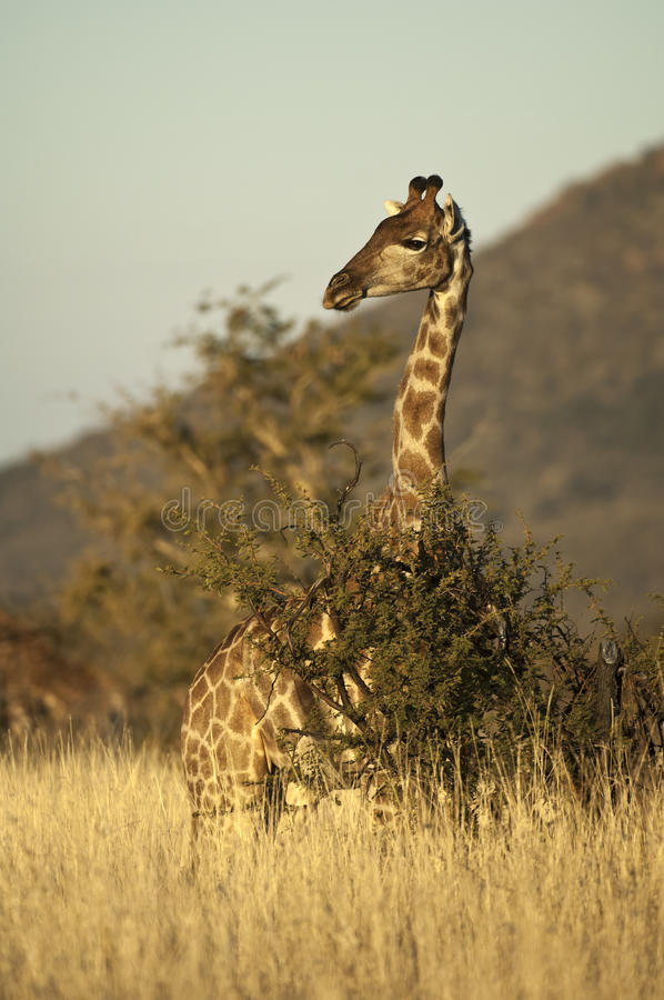 Giraffe. ( camelopardalis), South Africa royalty free stock images