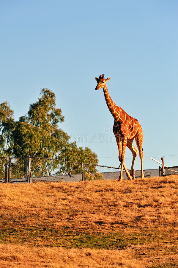 Download Giraffe in captivity stock photo. Image of field, looking - 8723680
