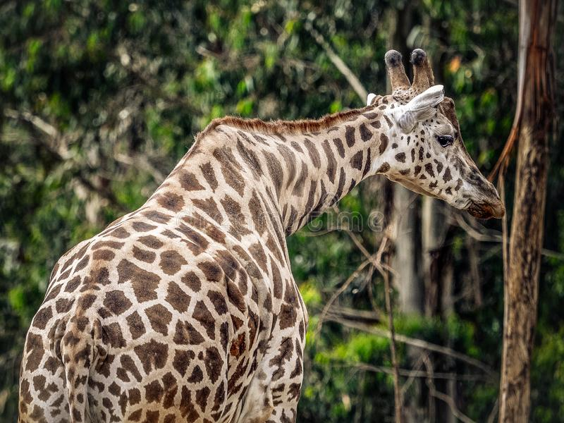Giraffe in captivity royalty free stock photography