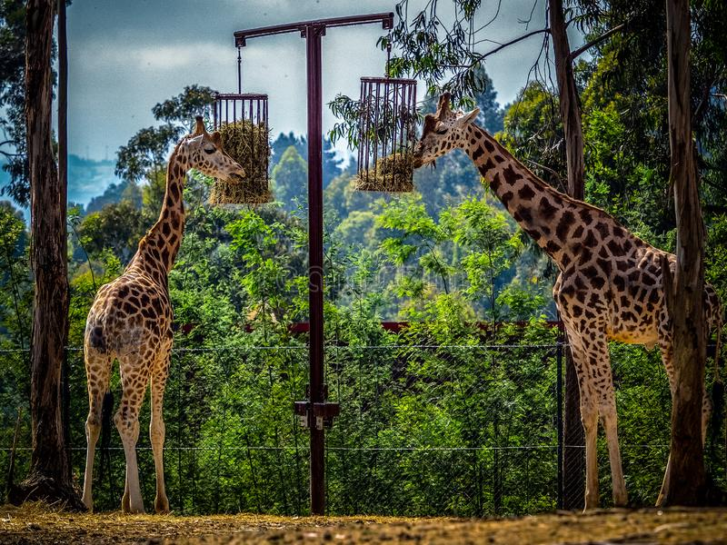 Giraffe in captivity stock photography