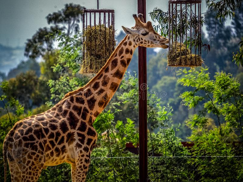 Giraffe in captivity stock photo