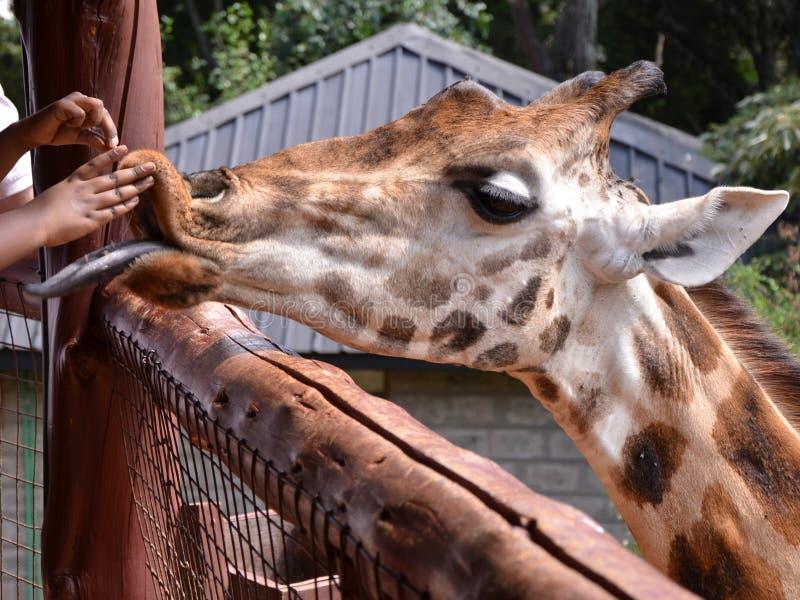 Giraffe Centre Nairobi stock images