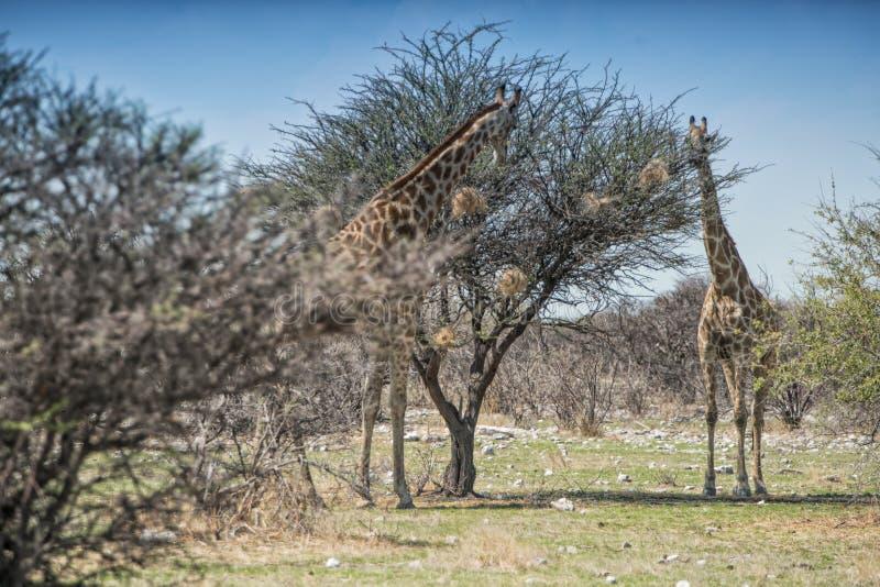 Giraffe che mangiano le foglie degli alberi Etosha nafta immagine stock