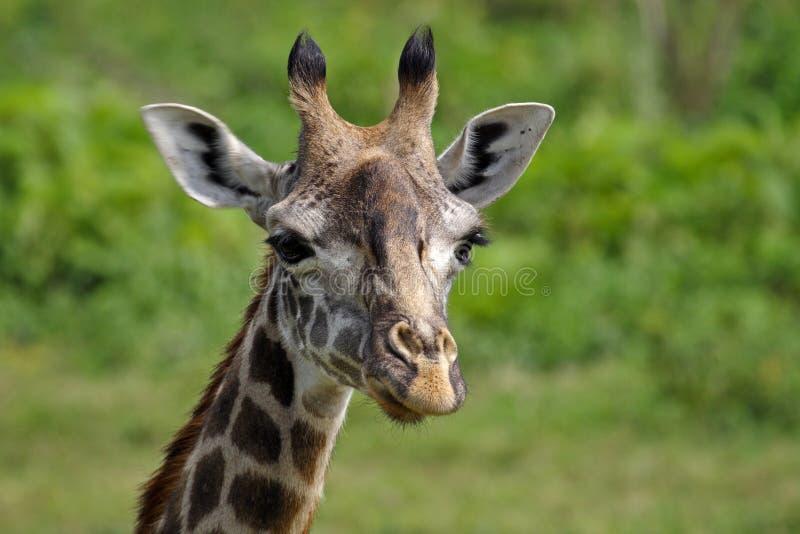 Download Giraffe Close-up, Arusha NP, Tanzania Stock Photo - Image of national, east: 11966748