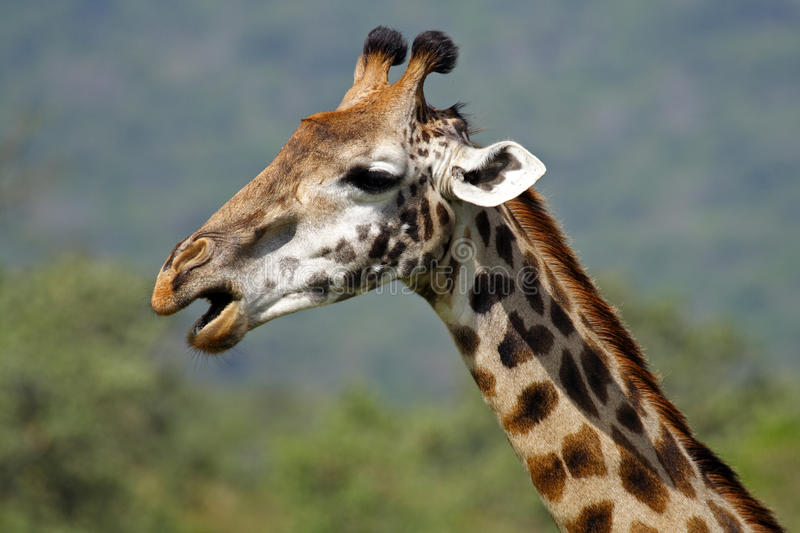 Download Giraffe Close-up, Arusha NP, Tanzania Stock Image - Image: 11966761