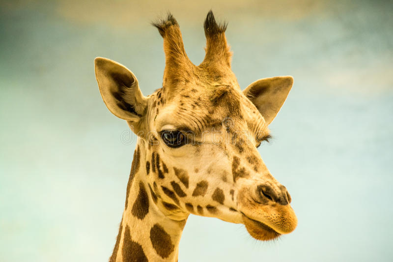 Giraffe Close-up. Giraffe Closeup Bronx Zoo 2014 royalty free stock photo