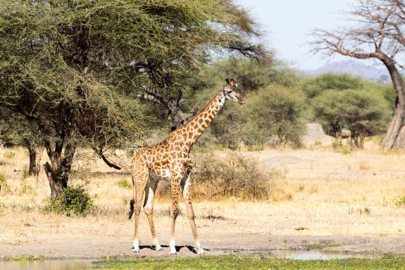 Giraffe close up, Tarangire National Park, Tanzania royalty free stock images