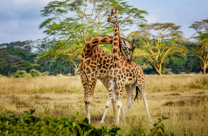 Giraffe couple cuddling with each other in Kenya, Africa royalty free stock photos