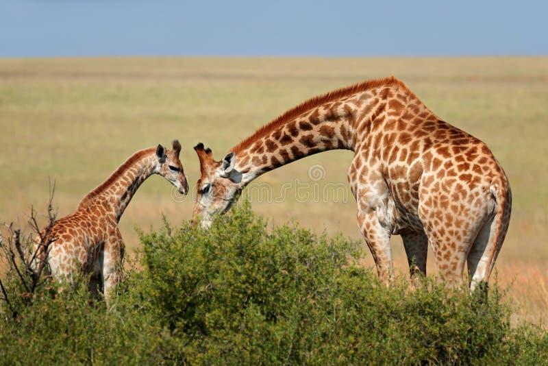 Giraffe cow and calf. A giraffe cow Giraffa camelopardalis and young calf, South Africa royalty free stock photos