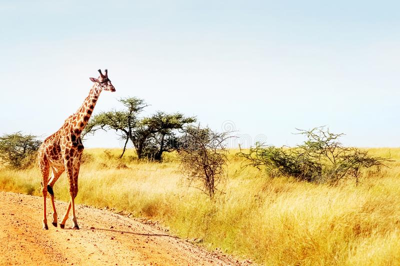 The giraffe crosses the road in the African savannah. Safari animals stock photography