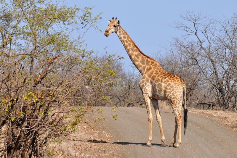 Giraffe crossing road royalty free stock images