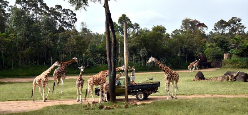 Giraffe d'alimentazione di Zookeper nella mostra africana di safari immagini stock libere da diritti