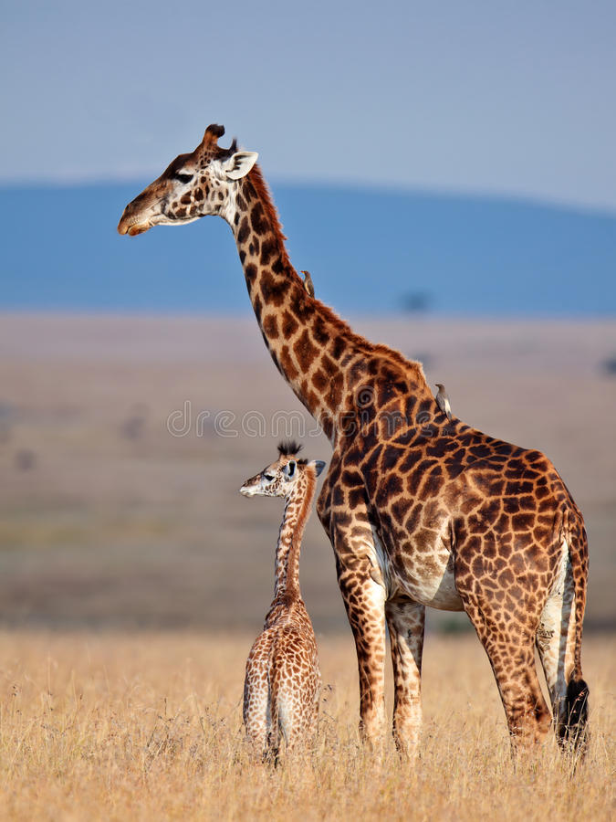 Giraffe da mamã e seu bebê no savanna