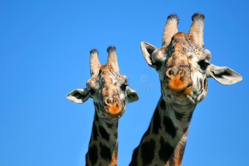 Giraffe da matriz e do bebê imagem de stock