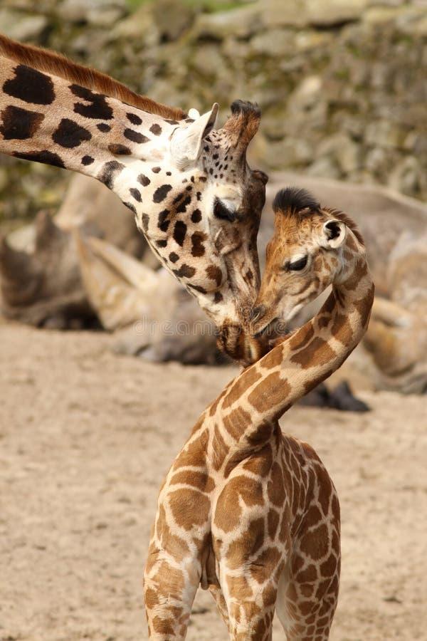 Giraffe da matriz que afaga com seu bebê imagem de stock