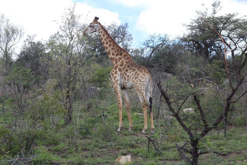 Giraffe dans l'horizontal africain image stock