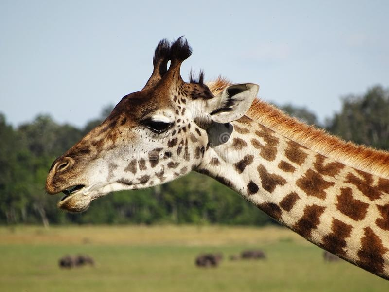 Giraffe dans le masai Mara image stock
