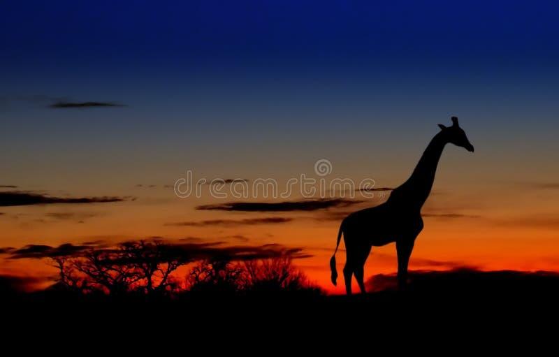 Giraffe at Dawn royalty free stock photo