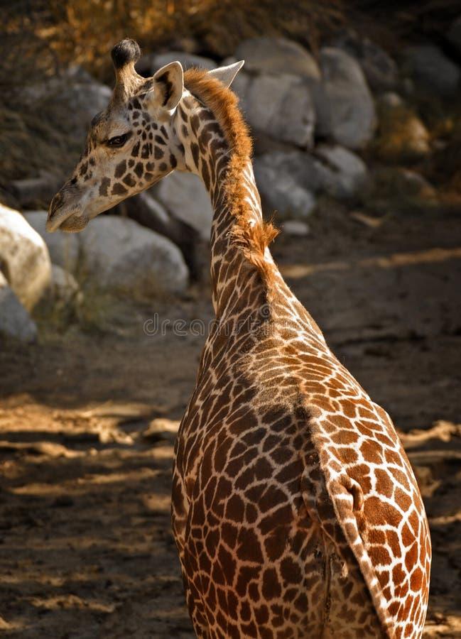 Giraffe de chéri image libre de droits