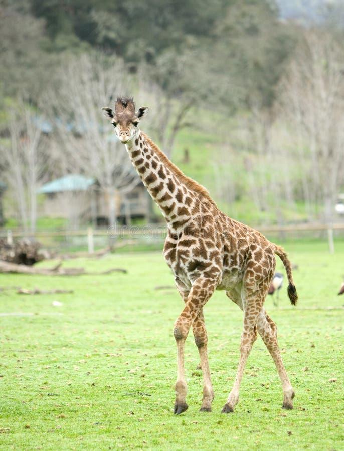 Download Giraffe de l'Afrique image stock. Image du équateur, arbre - 8654227