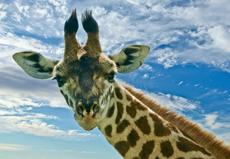 Giraffe de Maasai photo stock