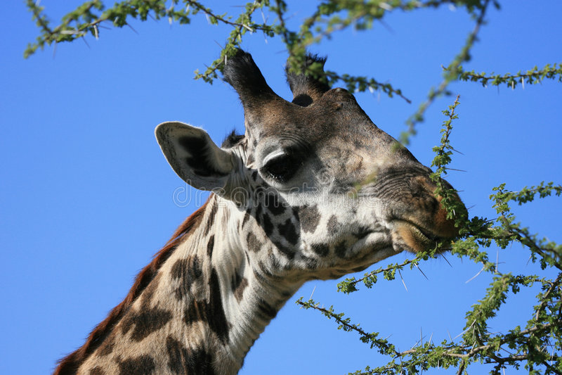 Giraffe de masai photo stock
