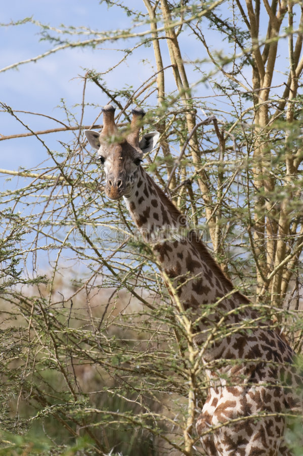 Giraffe de masai photos stock