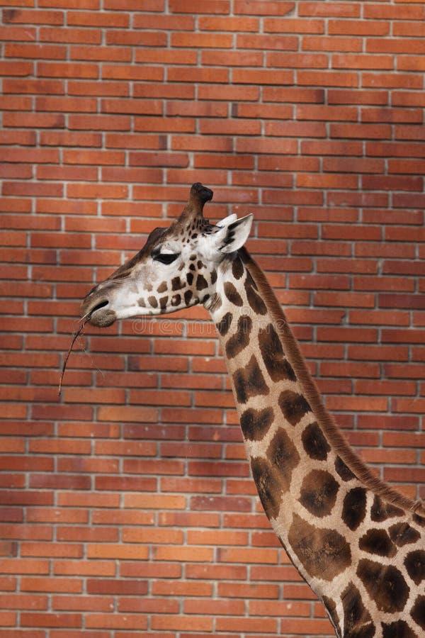 Giraffe de Rothschild imagem de stock