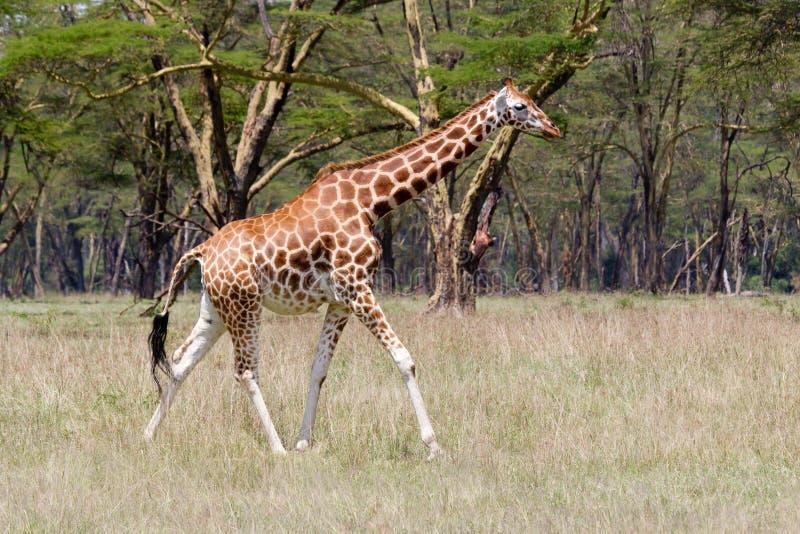 Giraffe de Rothschild foto de stock royalty free