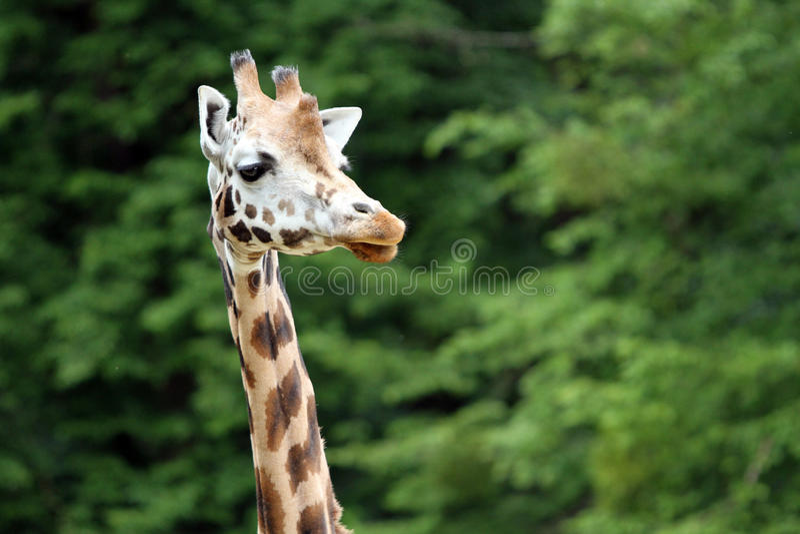 Giraffe de Rothschild imagens de stock
