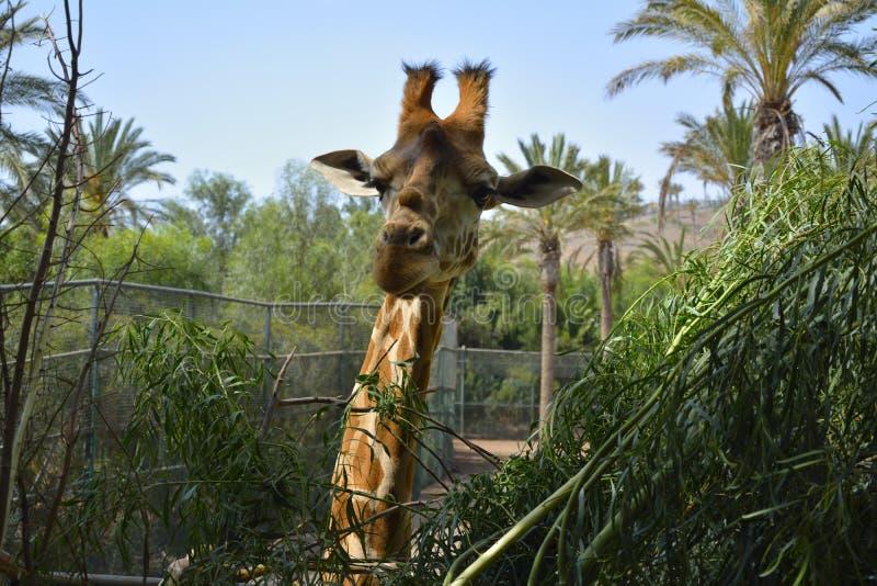 Giraffe de sourire photographie stock libre de droits
