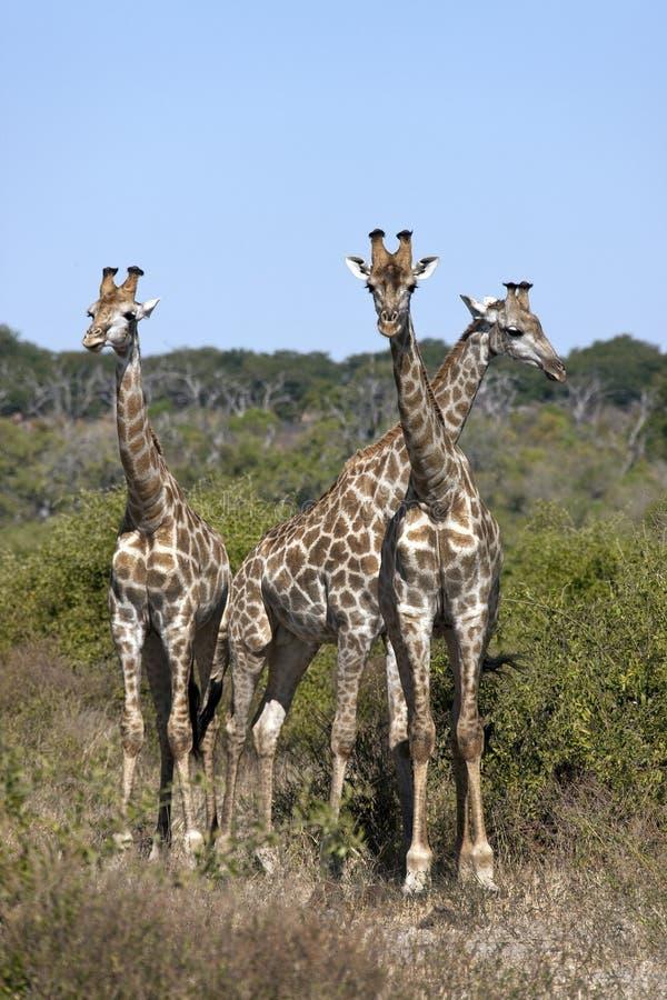 Giraffe de três jovens - Botswana imagens de stock