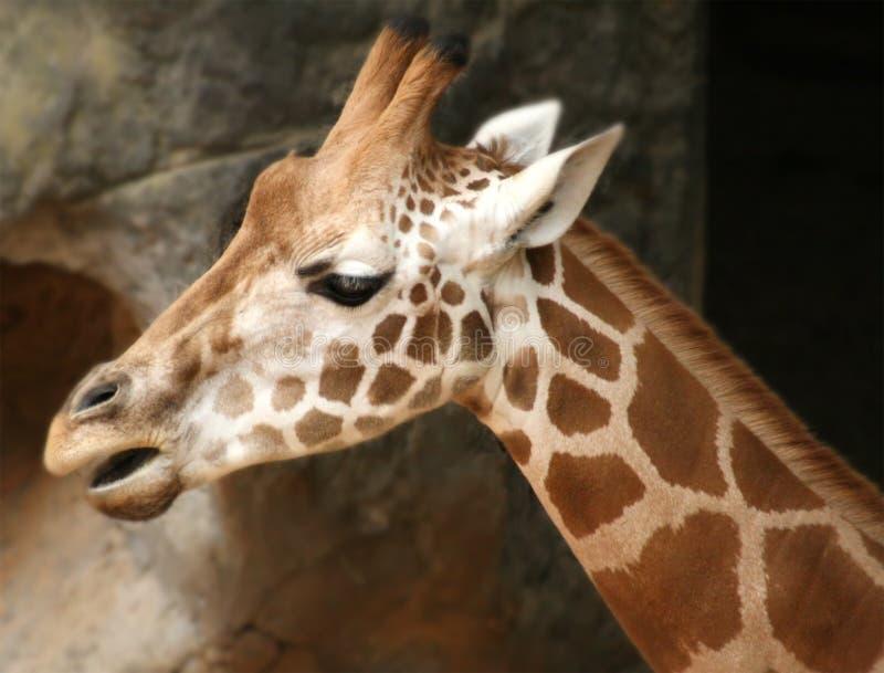 Giraffe de zoo de Taronga images stock