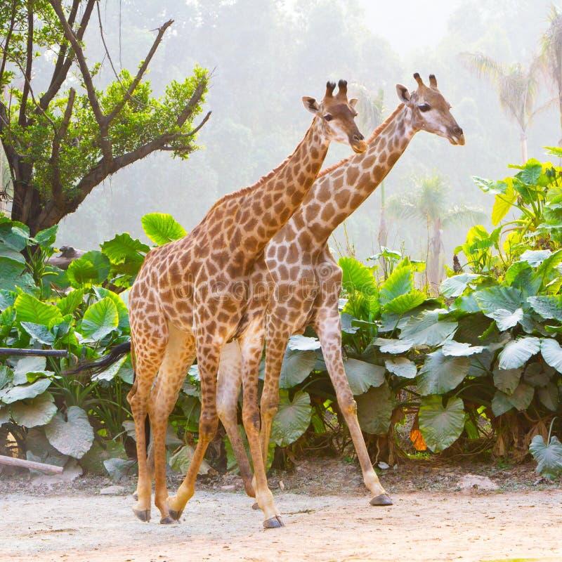 Giraffe delle coppie immagini stock