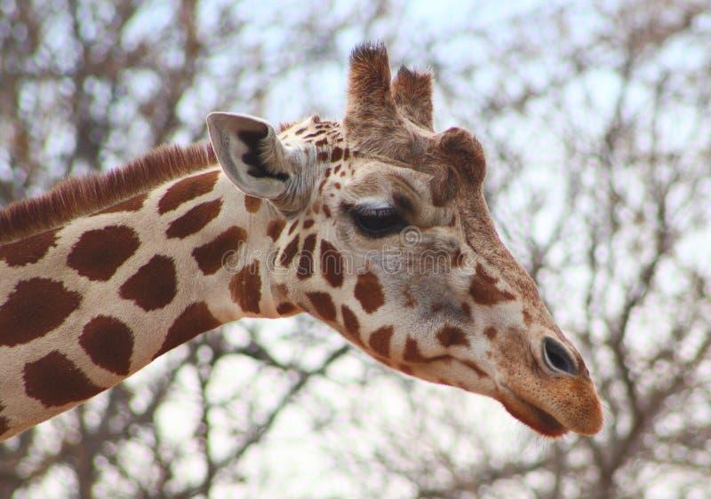 Giraffe at the Denver Zoo royalty free stock photo