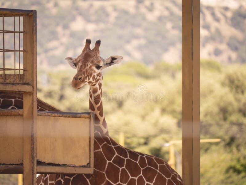 Giraffe in der Gefangenschaft, die Kamera betrachtet stockbild