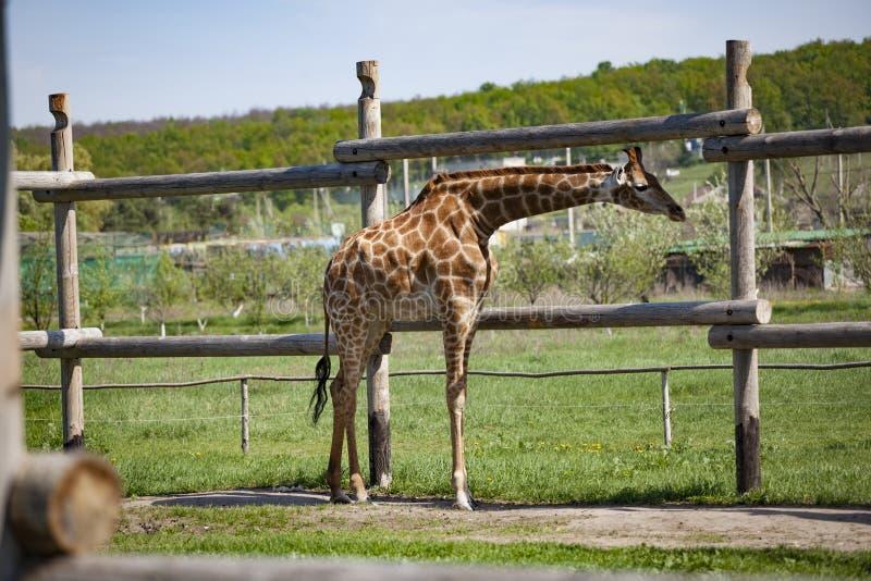 Giraffe in der Nähe eines Holzzauns stockbild