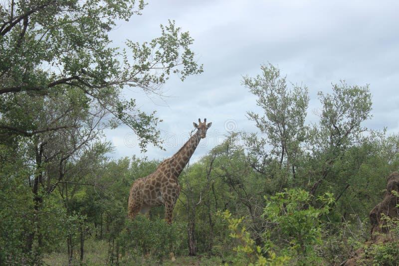 Giraffe in der Nationalpark-Spielreserve Kruger in Südafrika stockbild
