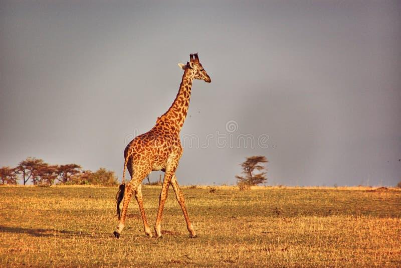 Giraffe in der Savanne bei Sonnenaufgang auf Masai Mara National Park in Kenia stockfotografie
