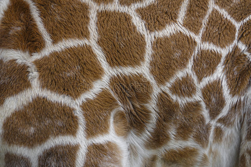 Giraffe in detail - texture royalty free stock image