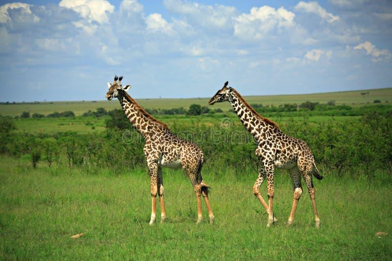 Giraffe deux photo stock