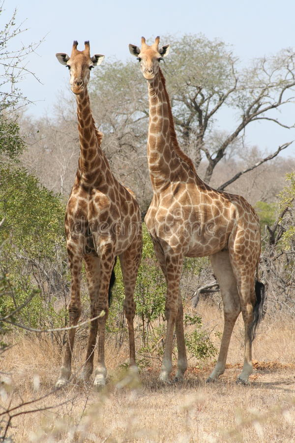 giraffe deux image stock