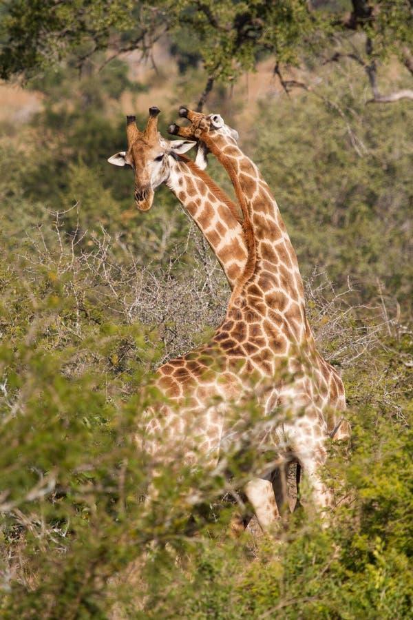 Giraffe di combattimento fotografie stock libere da diritti